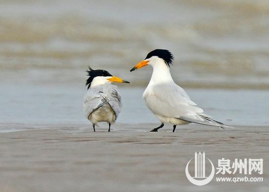 成群苍鹭飞舞 百只白鹭归巢 泉州保护生物多样性成效显著