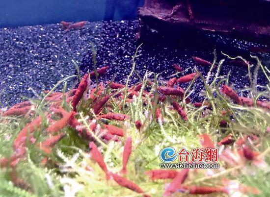 ◆血腥玛丽虾