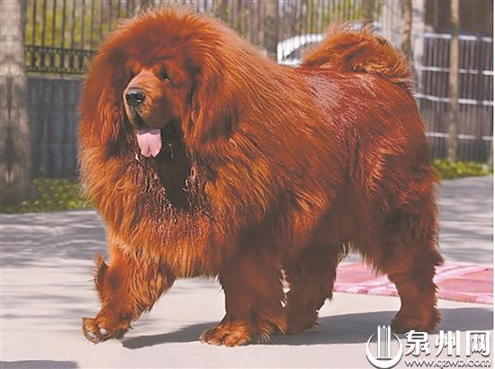 泉州城区禁养53种烈性犬 两个月内须自行处理