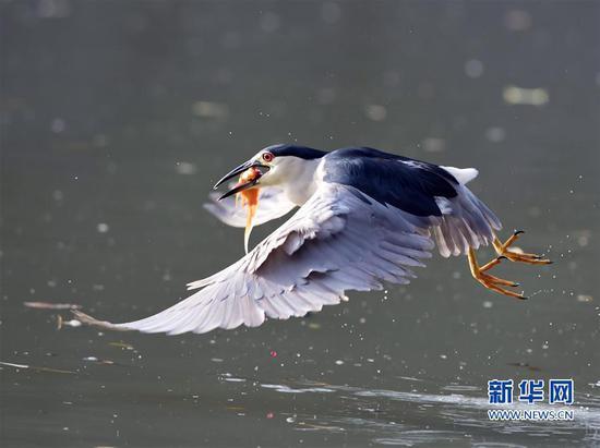 7月8日,在福建省福州市西湖公园的湖面上,一只夜鹭正在捕鱼。