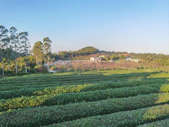 樱花、黄花风铃木……翔安妙高山景观提升项目一期工程完工