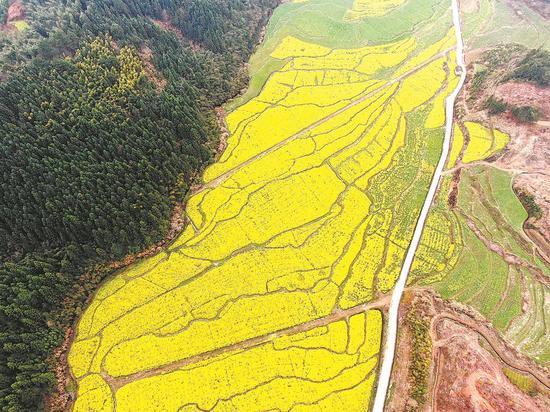 浦城县忠信镇万亩油菜花迎着春风肆意绽放。黄乾晔 摄