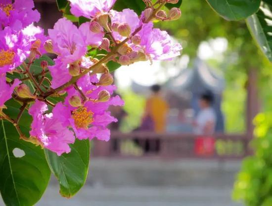 《【摩登2娱乐登录】快来打卡!厦门大红紫薇花惊艳亮相大街小巷》