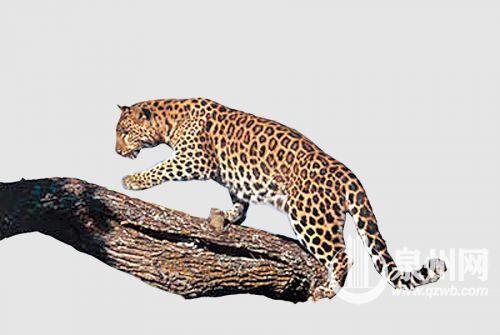 红豹全身简笔画步骤
