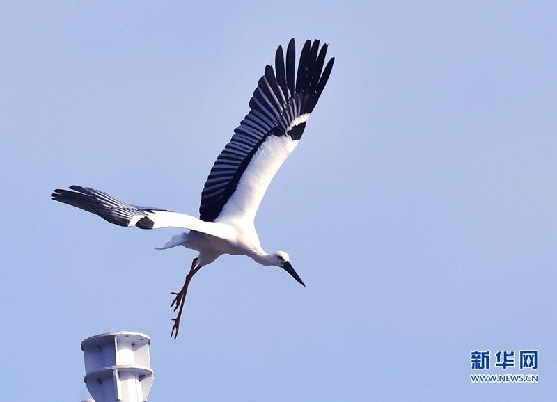 国家一级保护动物东方白鹳在福州的三十五天