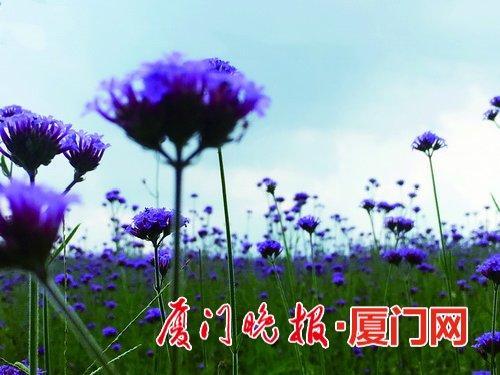 厦门园博苑新播种的一批花草已绽放 面积上万平方米