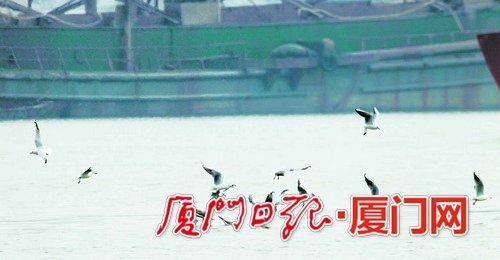 ▲优良的海洋生态环境吸引海鸥在厦门海域觅食。