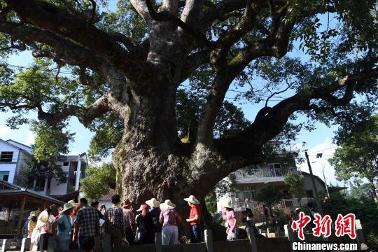 """9月15日,民众在观看位于福建省建阳区考亭村的千年古樟""""树抱佛""""。"""