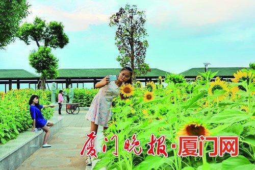 仙岳山公园的向日葵。陶卉摄