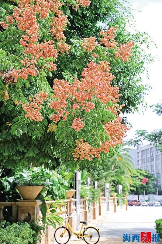 五一广场的台湾栾树。