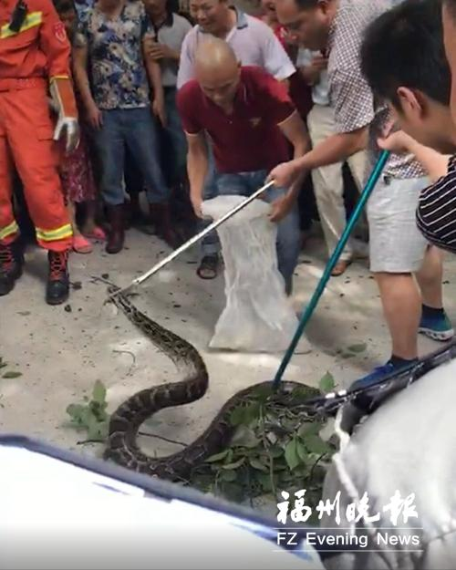 缅甸蟒被抓住。