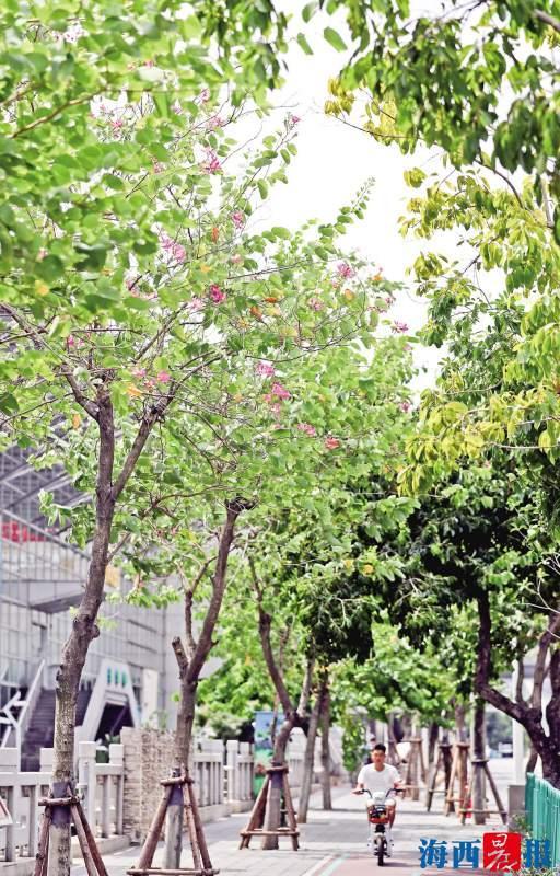 仙岳路上,一树缤纷。