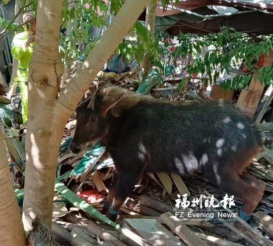"""二级保护动物""""四不像""""落难福州连江 先跳江又卡水沟"""