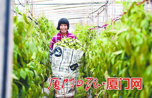 临近春节,郭山村的村民们在辣椒大棚里收获成熟的辣椒。