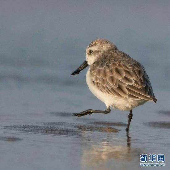 新年起世界极危珍稀鸟种勺嘴鹬 频频现身闽江口江滩