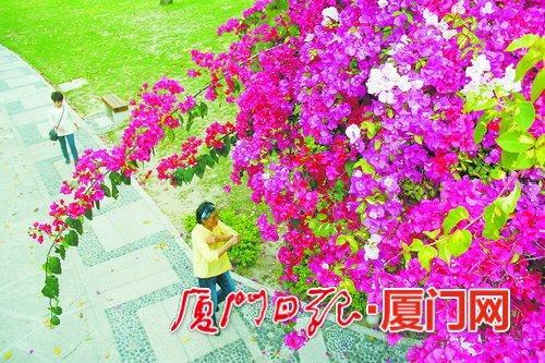 南湖公园游客在三角梅花丛下散步,别有一番韵味。(本报记者吴海奎摄)