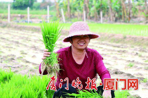 ▲同安农户颜族的妻子正在拔秧苗。