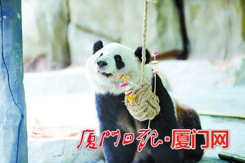 ▲大熊猫吃果蔬串串。(灵玲动物王国 供图)