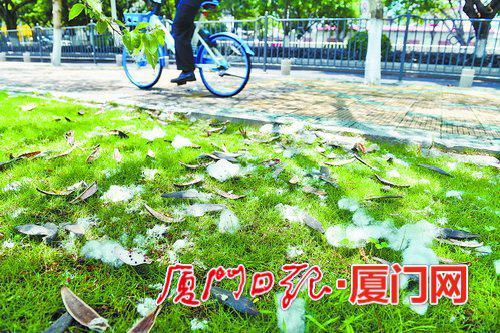 ▲湖滨北路草坪上,木棉絮及木棉果实外壳掉落在草地上。