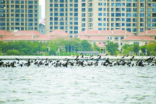 在园博苑,鸬鹚成群结队拍打着翅膀掠过水面。本组图/林瑞奇摄