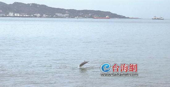 海中精灵成群现身漳州港 区域生态环境保护值得点赞