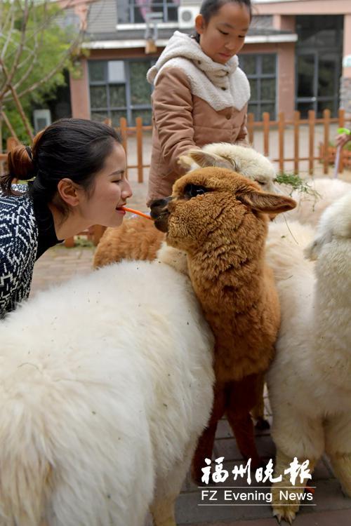 """""""萌宠嘉年华""""活动区的羊驼。"""