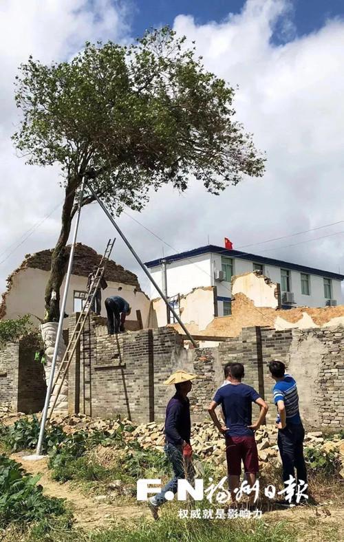 """本月上旬,工作人员拆除妨碍""""桂花王""""生长的围墙。通讯员 张美珍 摄"""