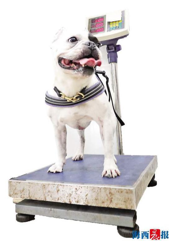 狗狗在称体重。