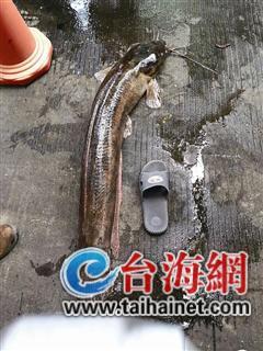 ▲有拖鞋当参照,你就知道这鱼有多大