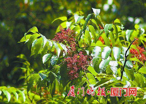 ■漆树的果实 资料图