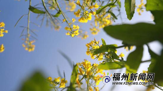 大片的油菜花田在阳光的怀抱里、春风的轻抚中,幸福摇曳。