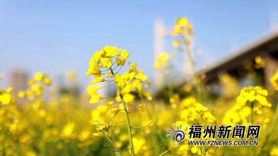 盛开的油菜花,在阳光照射下,满眼尽是金黄的颜色。
