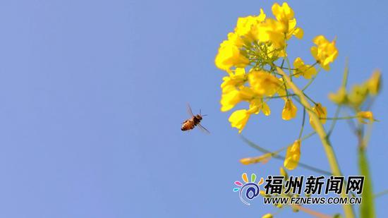 """""""福州蓝""""里赏""""金黄""""。"""