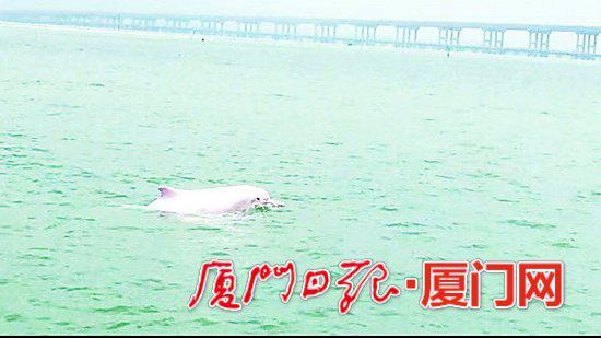 漳江湾特大桥边,白海豚嬉戏。