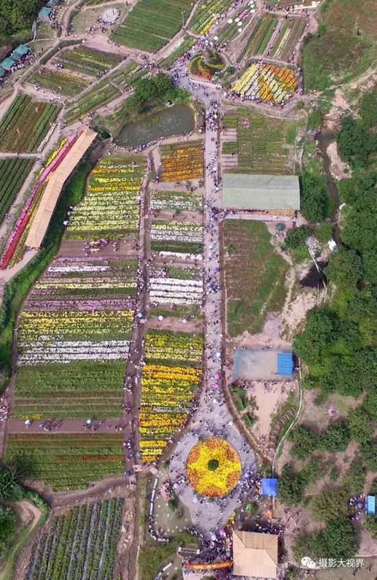 泉州丰泽区鲜花港的菊花展,从空中看去一把古琴饰于花海。(陈英杰摄影)