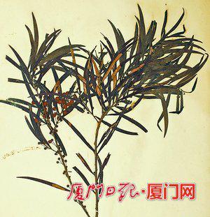 1922年采集的相思树标本。(陈恒彬 供图)