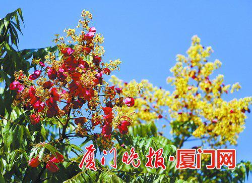 市图书馆附近的台湾栾树。拍客胡康强摄