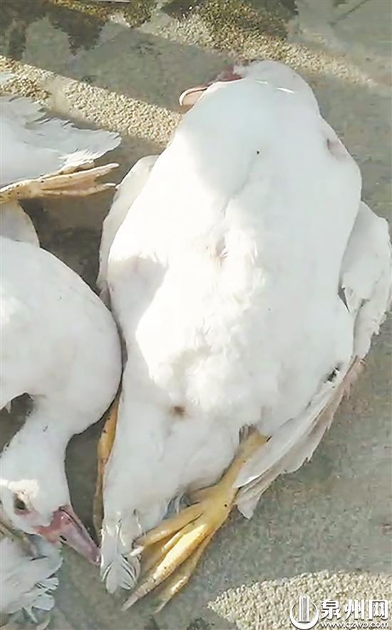 鸭子在圈中被咬死