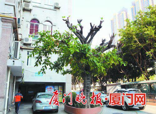 -禾祥商城小区里的大树树冠被砍得光秃秃。陈立新摄