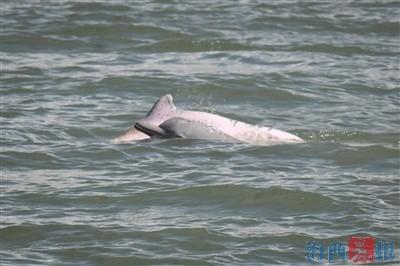 """白海豚""""組團""""廈門游 請安靜欣賞拍照別打擾它們"""