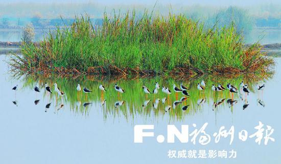 鸟儿在生态鸟岛附近悠然觅食。(唐小云 摄)