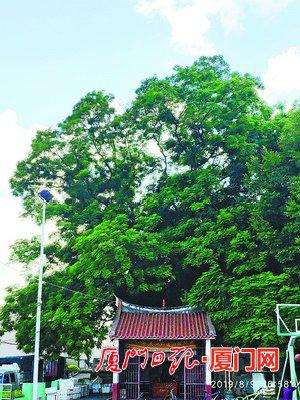 角美镇东山村这棵500多岁的海红豆树生命力旺盛,绿意葱葱。