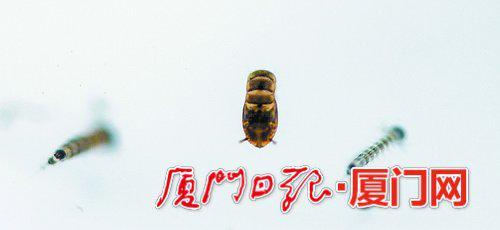 3、蚊子的蛹。