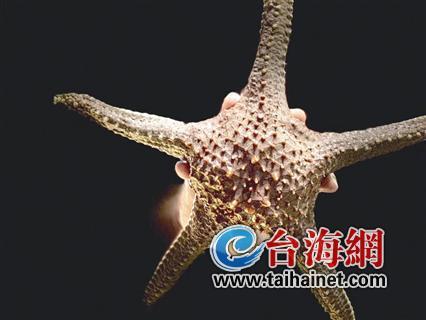 ◆厦门市场上的棘瘤海星