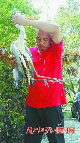 苍鹭的尾部严重受伤,肠子露出了体外。