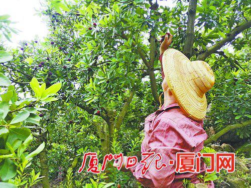 厦门市民在漳州杨梅园里采摘杨梅