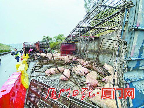 上百头生猪在厦翻车 或死或伤总损失可能超60万