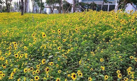 厦门三个公园大片向日葵正在盛放