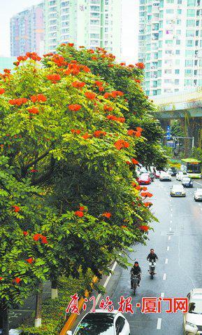 """-许多道路已形成""""一路一树,一树一景""""特色,图为厦禾路的火焰木。刘东华 摄"""