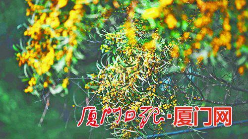 黄色花儿格外醒目。(本报记者 林铭鸿 摄)